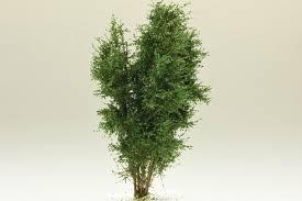 Polak Bäume