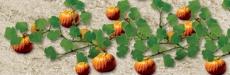 95532 Pumpkin, Pumpkin Plants , Kürbis