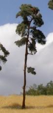 BR150 Pine-tree, Kiefer, 130-170mm (3x)