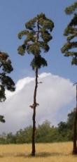 BR200 Pine-tree, Kiefer, 180-220mm (2x)