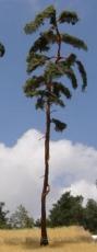 BR250 Pine-tree, Kiefer, 230-260mm (2x)
