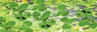 95538 O Lily Pads, Seerosen