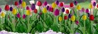 95555 0 Tulips, Tulpen