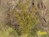 9221 Polak Hohe Sträucher - mittellaub - savannegrün