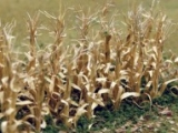 95588 Dried Corn Starks, trockene Maispflanzen