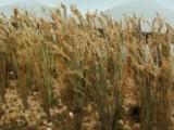 95637 HO Wheat, Weizen