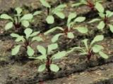 95592 Rhubarb, Rhabarber
