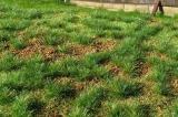F532 Steppengras grün